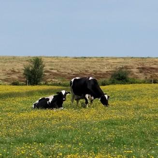 Cows & Flowers